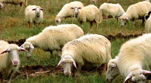 イタリアの羊の群れ
