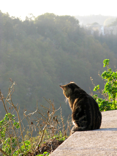チヴィタの猫